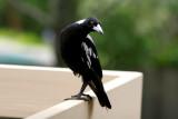 Aussie Magpie Mum