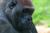 Gorilla.....photographed through glass