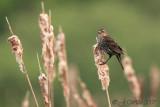 red_wing_blackbirds