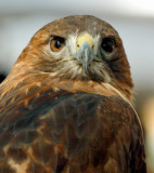 Red Tailed Hawk.jpg