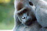 Gorilla Male.jpg