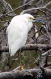 Small Egret.jpg