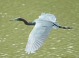 Little Blue Heron in Flight.jpg