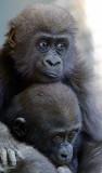 Gorilla Babies.jpg