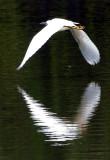 Snowy Egret.jpg