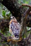 Red Shouldered Hawk.jpg