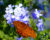 Butterfly and Plumbago.jpg