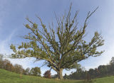 Borde Hill Oak colour