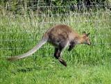 Bounding wallaby.jpg