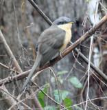 Mangrove Cuckoo, St. Bernard Parish, LA, 12/24/06