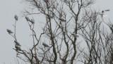 White-tailed Kites, Lacassine NWR, 1/23/07