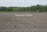 Swainson's Hawks, Vermilion Parish