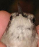Return Adult Female Ruby-throated