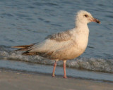 Mystery banded Gull