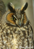 Hibou moyen-duc - Long Eared Owl  - 10 photos