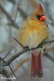 Cardinal femelle #0923 corrigée.jpg