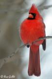 Cardinal mâle #0972.jpg