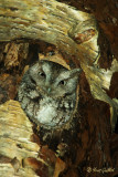 Petit-duc maculé - Eastern Screech-Owl - 16 photos