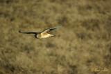 Busard St-Martin femelle en vol #5748.jpg