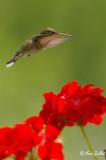 Colibri femelle #8118.jpg
