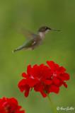 Colibri femelle #8015.jpg