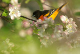 Oriole de Baltimore mâle + fleurs pommiers #7796.jpg