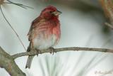 Roselin pourpré - Purple Finch - 3 photos