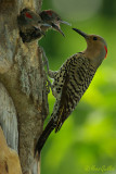 Pic flamboyant - Northern Flicker - 4 photos