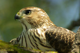 Epervier de Cooper - Cooper's Hawk - 5 photos