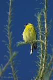 Chardonneret jaune mâle #7022.jpg