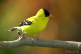 Chardonneret jaune mâle #2789.jpg
