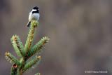 Uccello ai Campelli