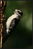 Downy woodpecker (juvenile female)