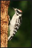 Downy woodpecker (juvenile male)
