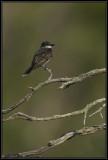 Eastern Kingbird ©  Liz Stanley