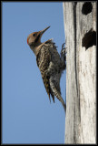 Northern Flicker ©  Liz Stanley