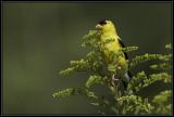 American Goldfinch ©  Liz Stanley