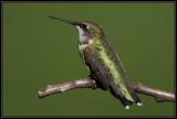 Ruby-throated hummingbird ©  Liz Stanley