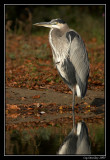 Great blue heron ©  Liz Stanley