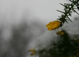 Gorse flower in the snow.