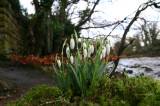 Snowdrops by the river