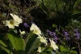 Primula and Violets