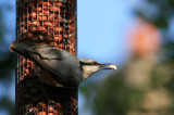 If a Nuthatch could hatch nuts