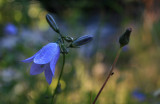 harebell in the shadows