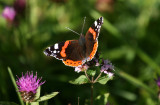 Red Admiral on marjoram