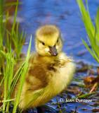 Canada Geese gosling