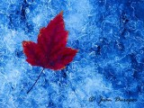 Maple Leaf on  Ice