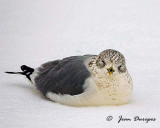 Gull crouched during a severe winter storm