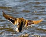 Mallard attempting a soft landing