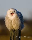 Snowy Owl enjoying a bit of laughter......
